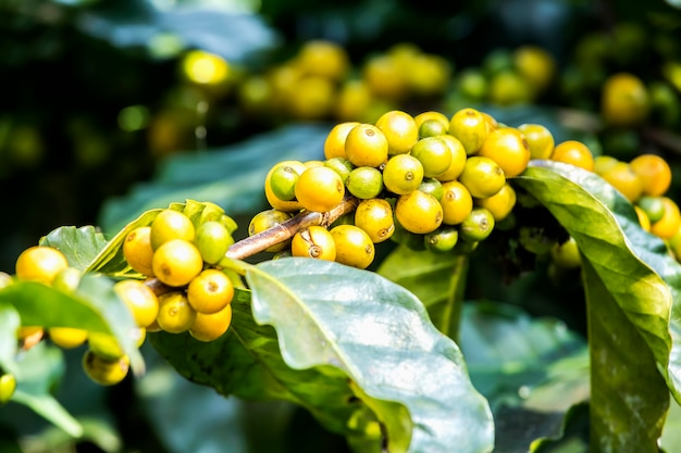 Close-up fresh coffee beans ripening growing on tree with coffee leaf