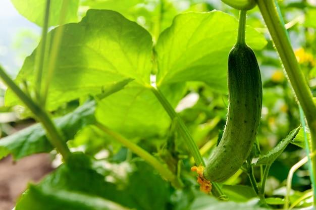 Close up fresh cucumber in greenhouse