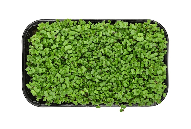 Close up fresh green arugula microgreen sprouts in black plastic sprouter tray isolated on white background, elevated top view, directly above