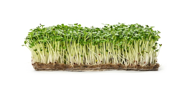 Close up fresh green arugula microgreens sprouts on drainage compost isolated on white background, low angle side view
