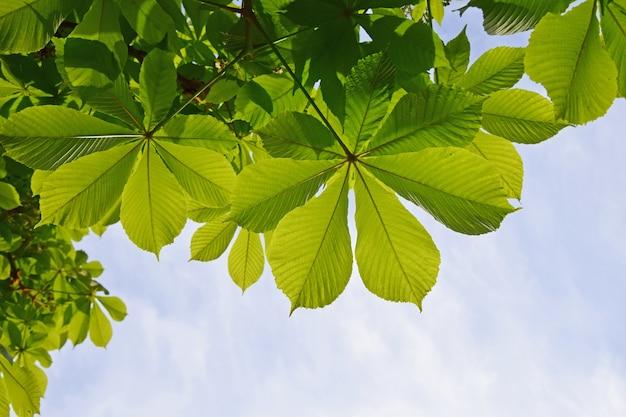 푸른 하늘 배경 위에 신선한 녹색 백라이트 말 밤나무 잎을 닫습니다