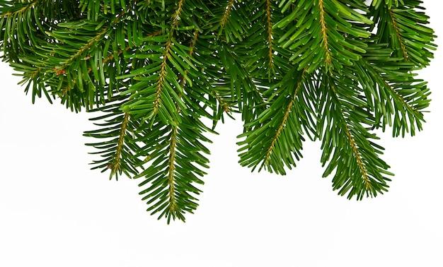 가문비나무 또는 소나무 흰색 배경에 고립의 신선한 녹색 지점을 닫습니다