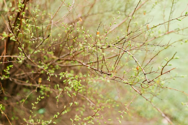 Close up of fresh green leaves in spring. buds bush.