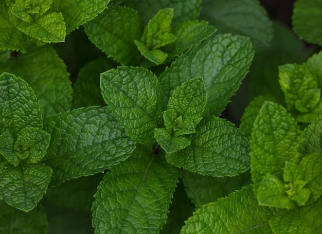허브 정원 침대에서 자라는 신선한 녹색 민트 잎을 닫습니다