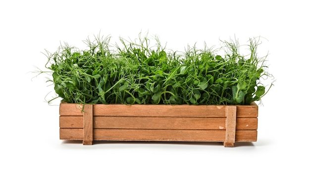 Close up fresh green peas microgreen sprouts in brown wooden box isolated on white background, low angle view