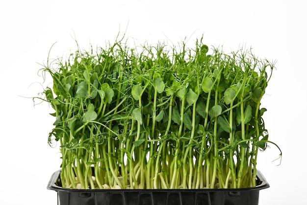 흰색 배경에 격리된 검은색 플라스틱 트레이에 신선한 녹색 완두콩 미세 녹색 콩나물을 닫습니다