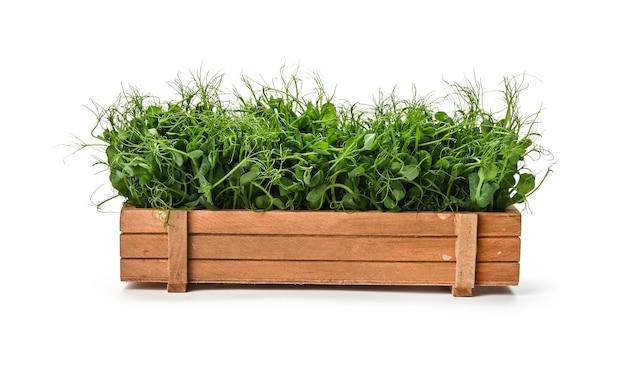 흰색 배경, 낮은 각도보기에 고립 된 갈색 나무 상자에 신선한 녹색 완두콩 microgreen 콩나물을 닫습니다