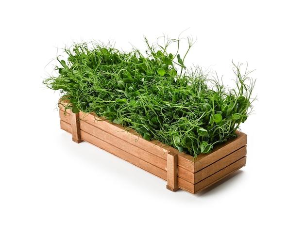 Закройте вверх по росткам микрозелени свежего зеленого горошка в коричневой деревянной коробке, изолированной на белом, высоком угле обзора