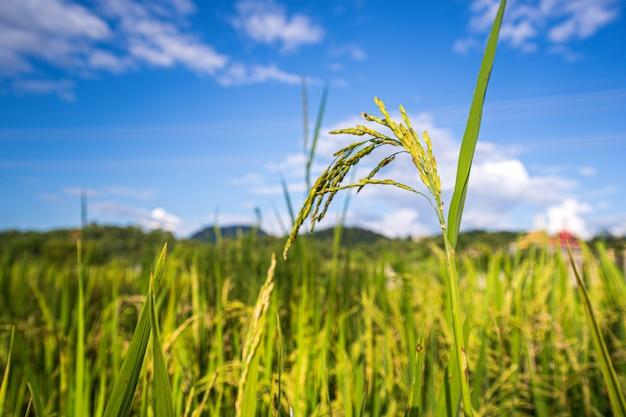 Close up fresh paddy rice field, lush green beautiful background