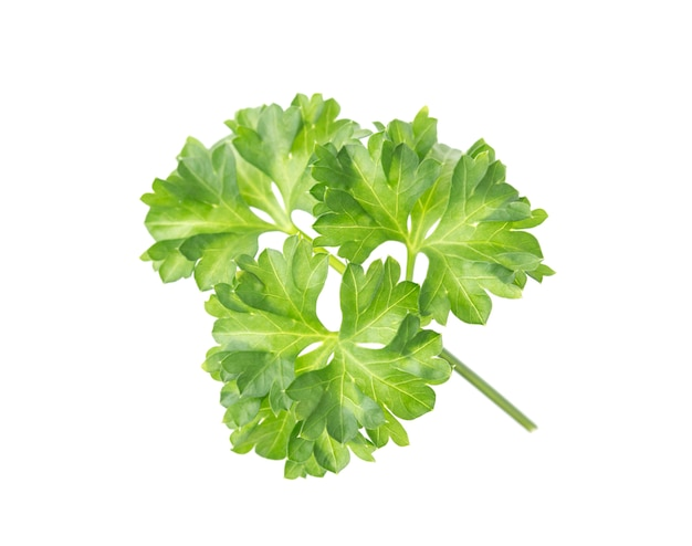 Close-up of fresh parsley branch isolated on white