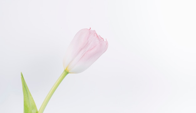 Close-up of fresh pink tulip flower on white backdrop