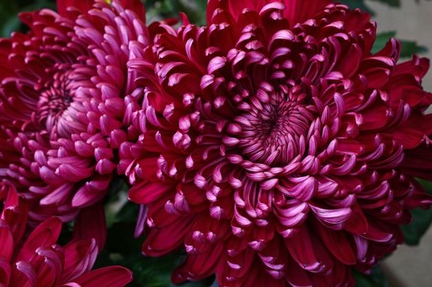 신선한 보라색 애 스터 꽃을 닫습니다
