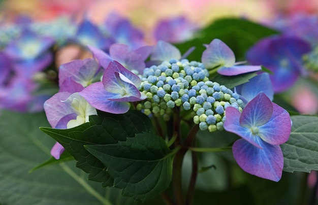 신선한 보라색 파란색 수국 또는 hortensia 꽃을 닫습니다