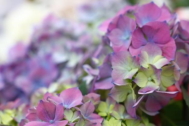 신선한 보라색 파란색 수국 또는 호르텐시아 꽃을 닫습니다 프리미엄 사진