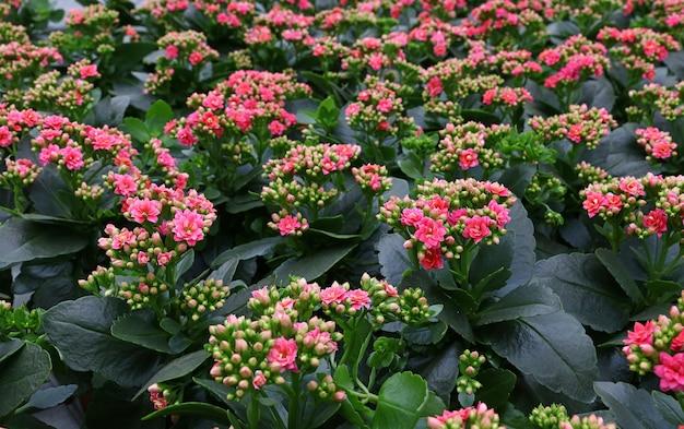 꽃 가게의 소매 디스플레이에 신선한 보라색 분홍색 화분 kalanchoe 꽃을 닫습니다