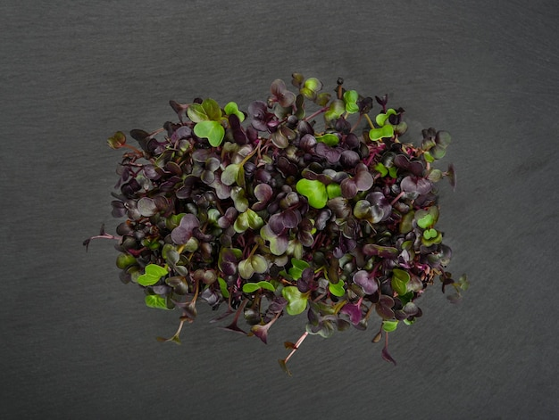 Close up fresh purple radish microgreen sprouts on black slate board background, elevated top view, directly above