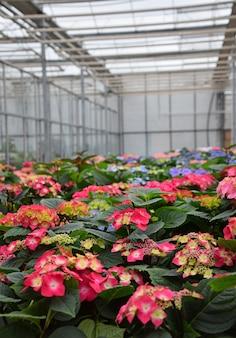 온실에서 신선한 빨강, 자주색 및 분홍색 화분에 심은 수국 또는 hortensia 꽃을 닫습니다, 높은 각도보기