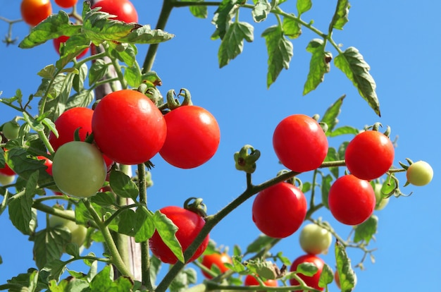 Close up of fresh red ripe tomatoes growing in the vegetable garden.