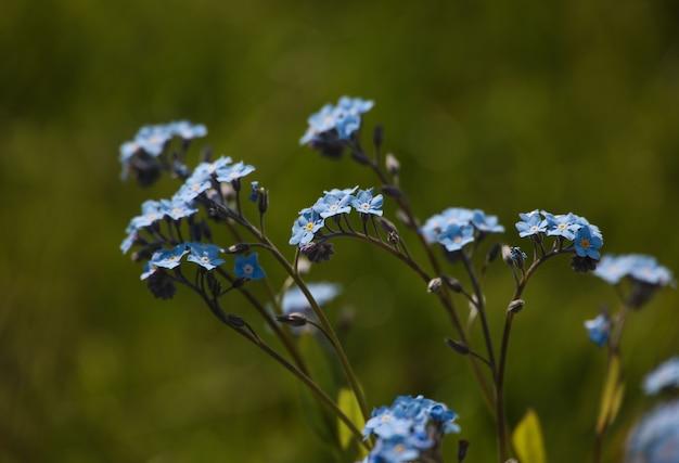 Close up fresh spring purple blue forget me not or myosotis flowers