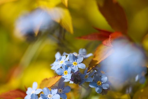 신선한 봄 보라색 파란색은 나를 잊지 않거나 myosotis 꽃을 닫습니다