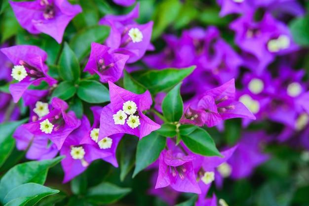 클로즈업 신선한 열대 부겐빌레아 또는 부겐빌 바이올렛 꽃이 녹색 잎 배경에 피고 수평 야외 여름 꽃과 식물 스톡 사진 이미지 벽지