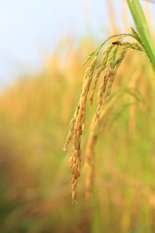 Close up of fresh weed in  rice fields