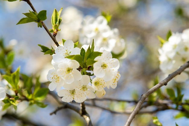 Close up of fresh white blooming flowers on a tree branches with blurred blue sky surface in early spring