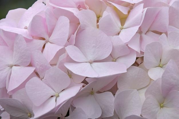 신선한 흰색 분홍색 수국 또는 hortensia 꽃을 닫습니다