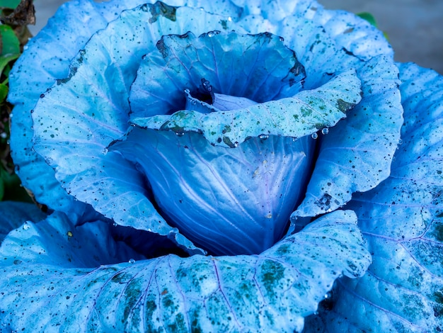 Закройте вверх по свежей зимней синей капусте завод текстуры с каплями росы. абстрактный естественный овощной фон.