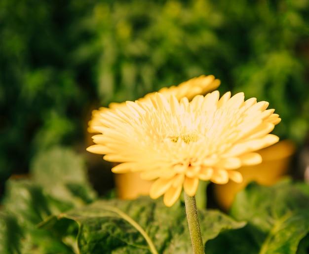 Close-up of fresh yellow gerbera flower