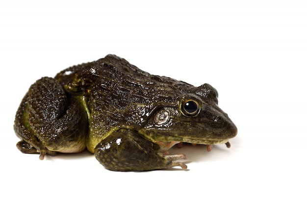 Close up of frog isolated