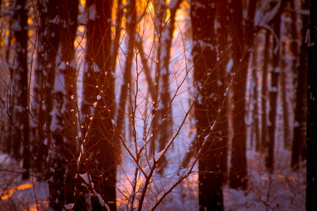 Close-up of frozen drops on a tree branch, sunset in a snowy forest and the rays of the sun through the tree branches.