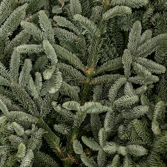 Close-up frozen pine green leaves