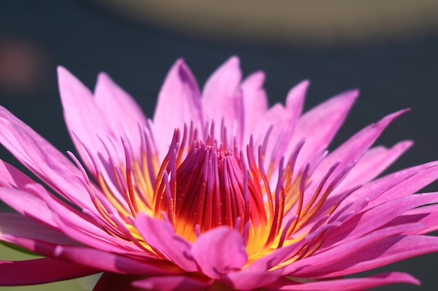 Close up of a full bloom vibrant purple pink lotus flower in the sunlight