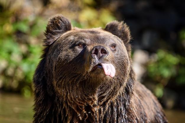 Портрет крупным планом смешной бурый медведь с протянутым языком. опасное животное в природе обитания. большое млекопитающее. сцена дикой природы