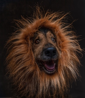 Close-up of funny crossbreed dog with lion wig on black background. isolated image.