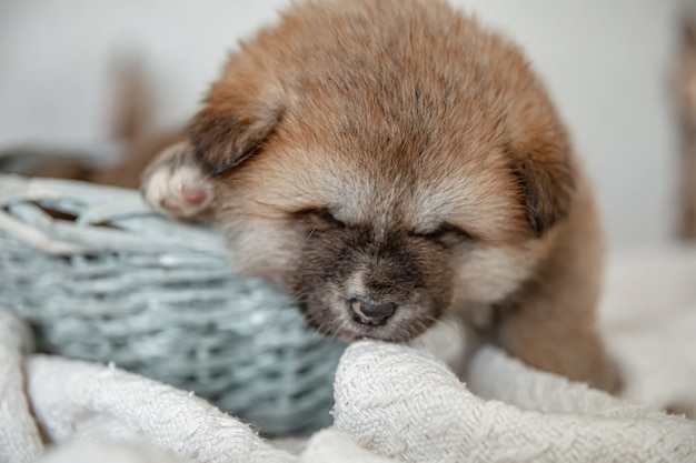 Close-up of a funny fluffy puppy resting in a basket.