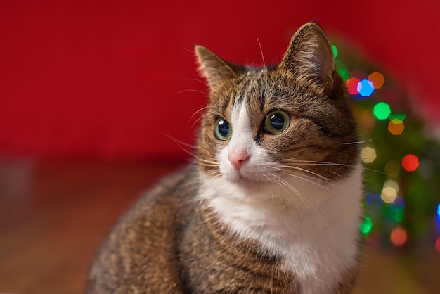 Крупный план, забавный домашний кот на красном фоне, цветное боке для новогодней рождественской открытки