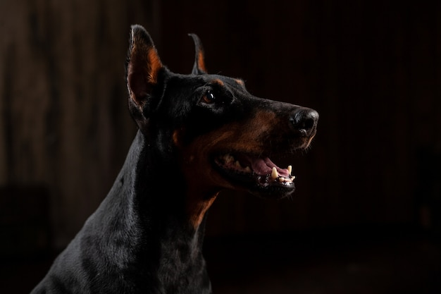Close-up funny portrait of doberman dog