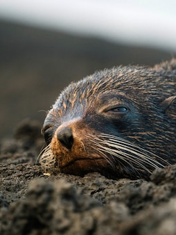 Close up on galapagos seal seeping