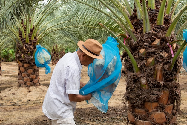 Close up of gardener taking care of date palms plantation