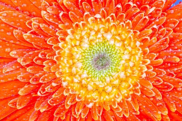 Close up on gerbera flower