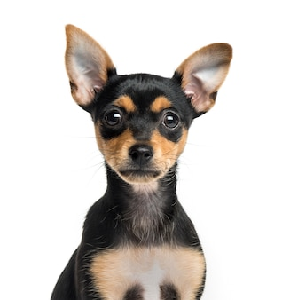 Close-up of a german pinscher puppy, isolated on white