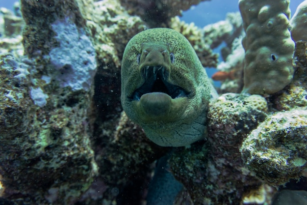 Close up on giant moray eel under water