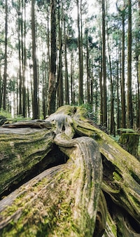 Close up of giant root of long live pine trees with moss in the forest in alishan national forest recreation area