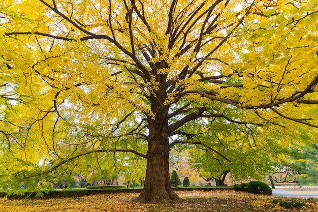 Close-up of gingko tree in autumn