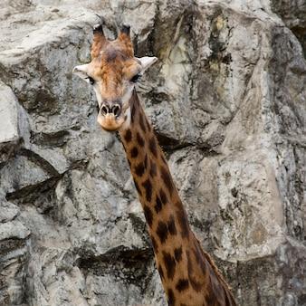A close up of giraffe face