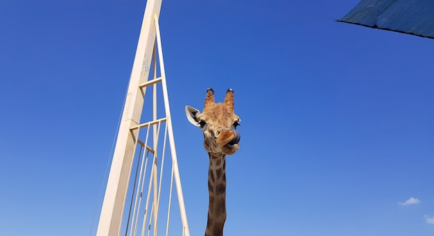 A close-up of a giraffe sticks out its tongue and licks its lips. head and neck on a blue background.