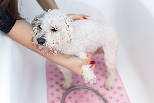 Close-up of a girl bathing her dog in the bathroom. care for a dog bichon frise, close-up.