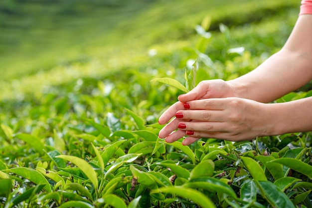 Close-up, the girl gently collects the top leaves of tea from green bushes high in the mountains.